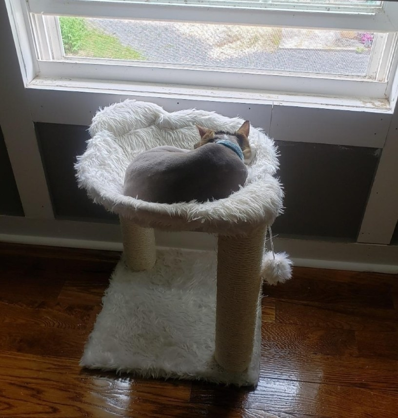 A grey cat sitting in a white hammack cat tree with two scratch pads and two pom poms