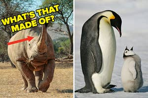"""On the left, a rhino with an arrow pointing to its horn and """"what's that made of?"""" typed next to it, and on the right, a penguin and their baby"""