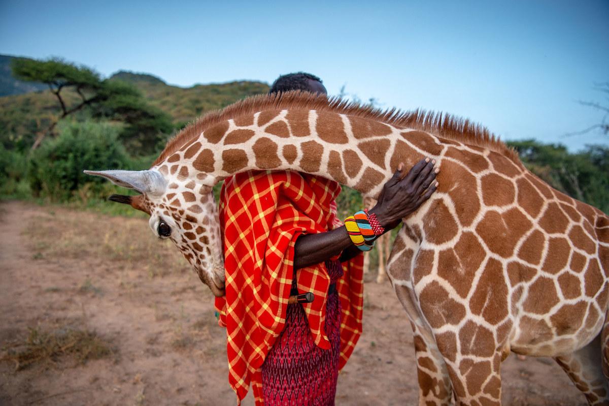 A giraffe looks like he is hugging a man outside