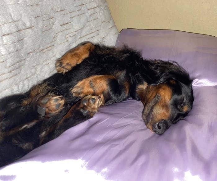 A pup enjoying the pillowcase