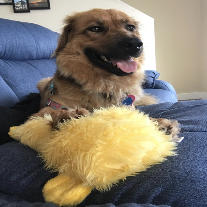 reviewer photo of golden chow dog with duck