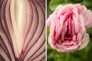Side-by-side images of an onion and a rose that both kind of look like vaginas
