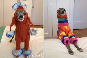 Small Greyhound in funny outfits