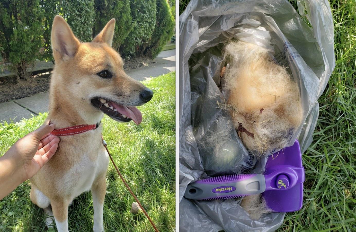 First image: dog smiling after being brushed. Second image: garbage bag full of brushed dog hair.