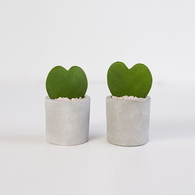two hoya heart plants in concrete pots