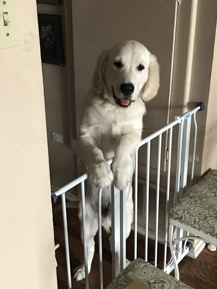 Dog leaning over pet gate.