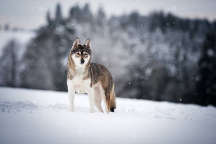 15 Huskies That Live For The Drama