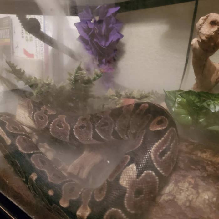 A snake with a humidifier on them