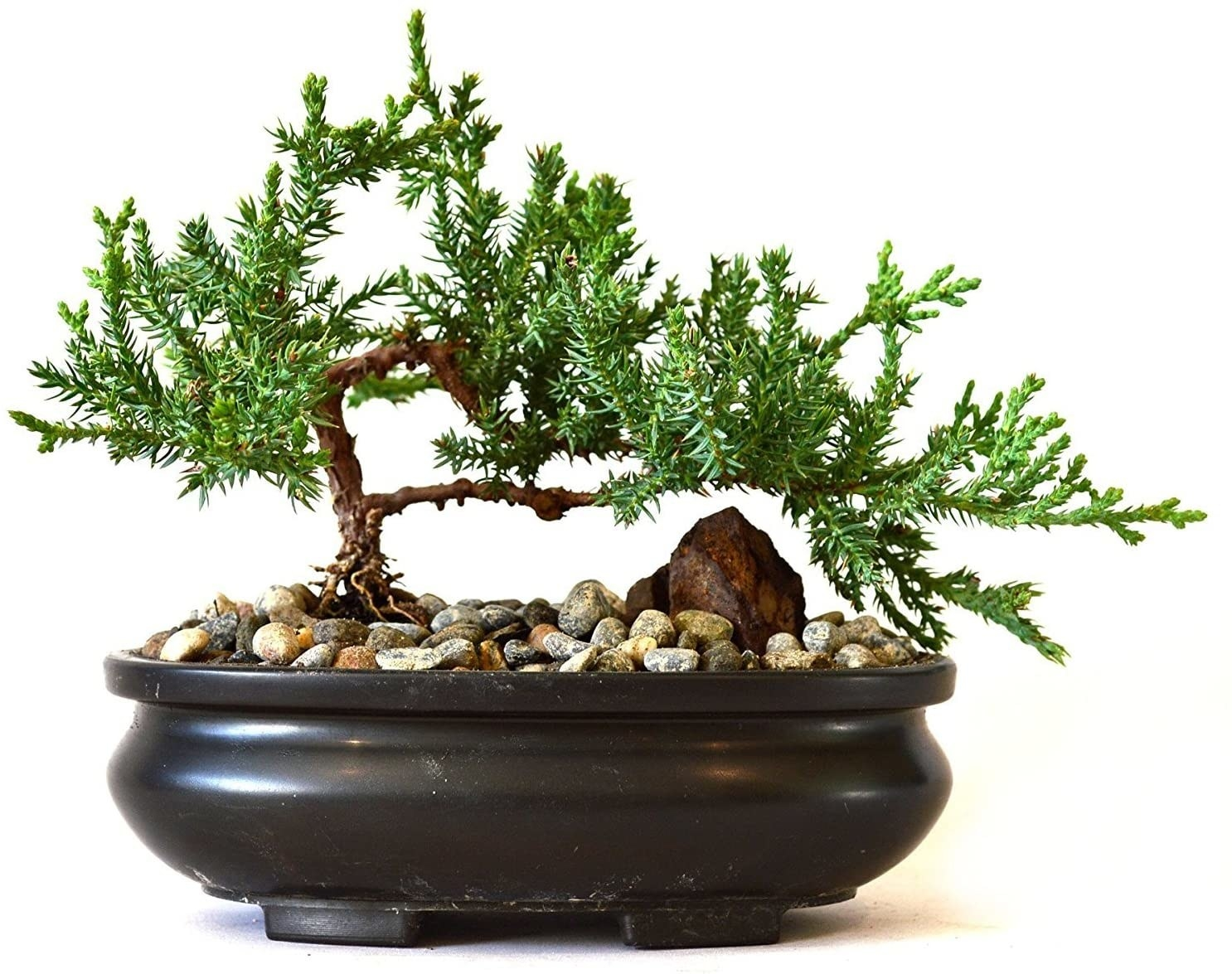 juniper bonsai plant