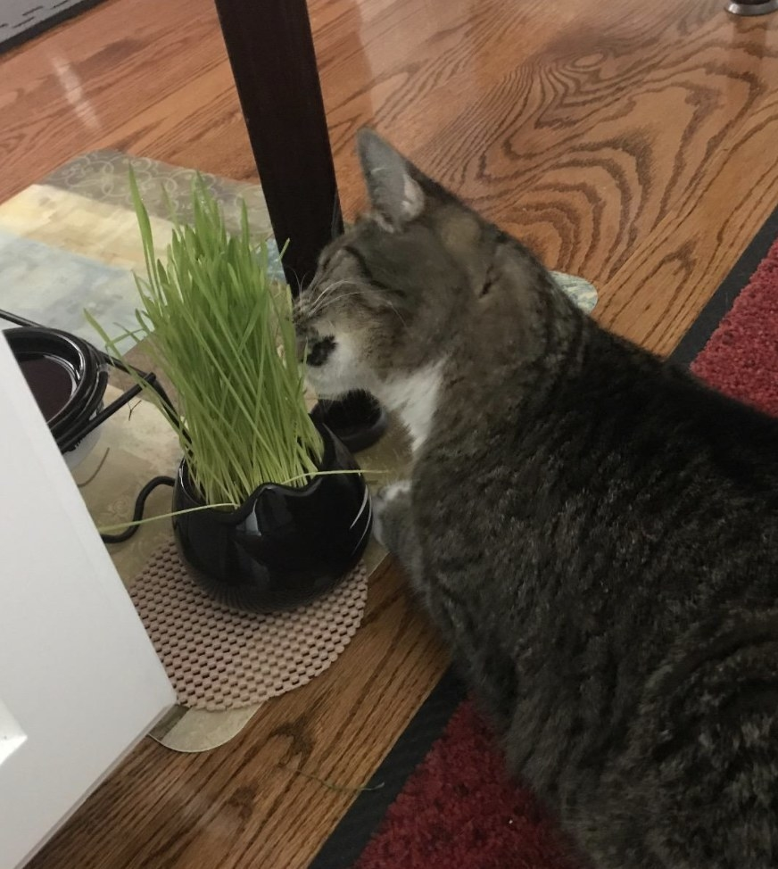 A cat is eating cat grass
