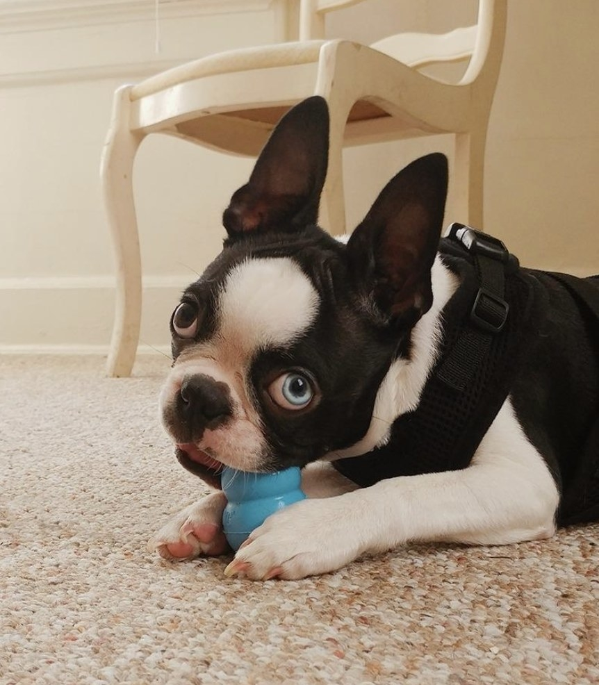 A dog is chewing a Kong toy