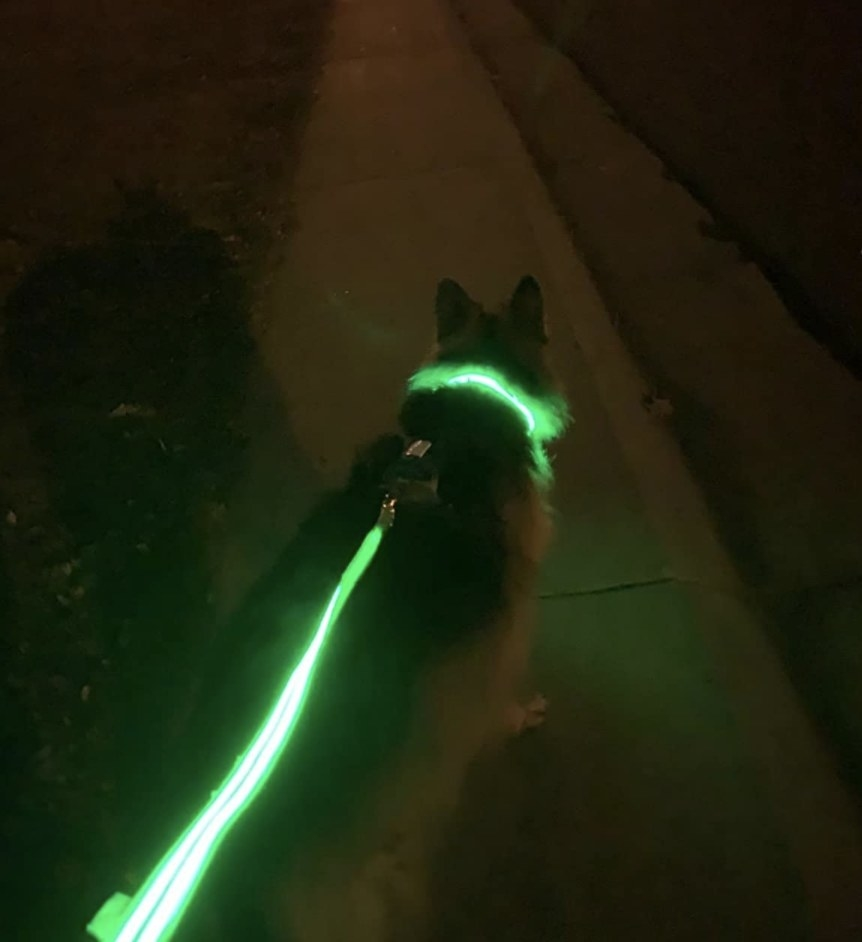 A dog is walking with a green LED leash