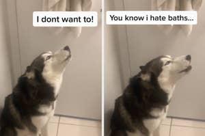 A husky who doesn't want to bathe