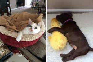 L: Cat lying in a heated cat bed R: Brown lab napping with a yellow stuffed duck