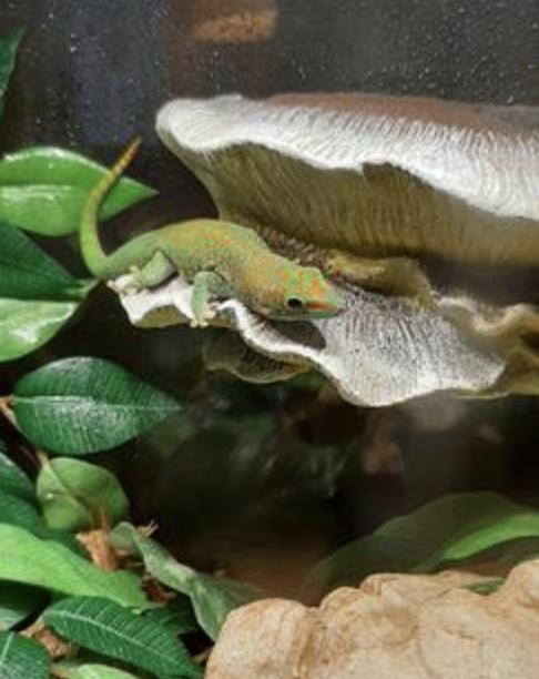 a gecko on the mushroom feeding ledge