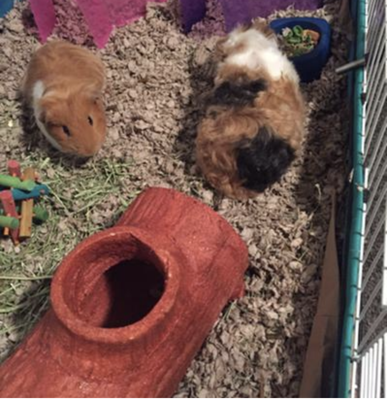 the log inside a cage with two guinea pigs