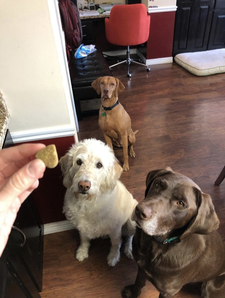 Owner holding treat above three dogs.
