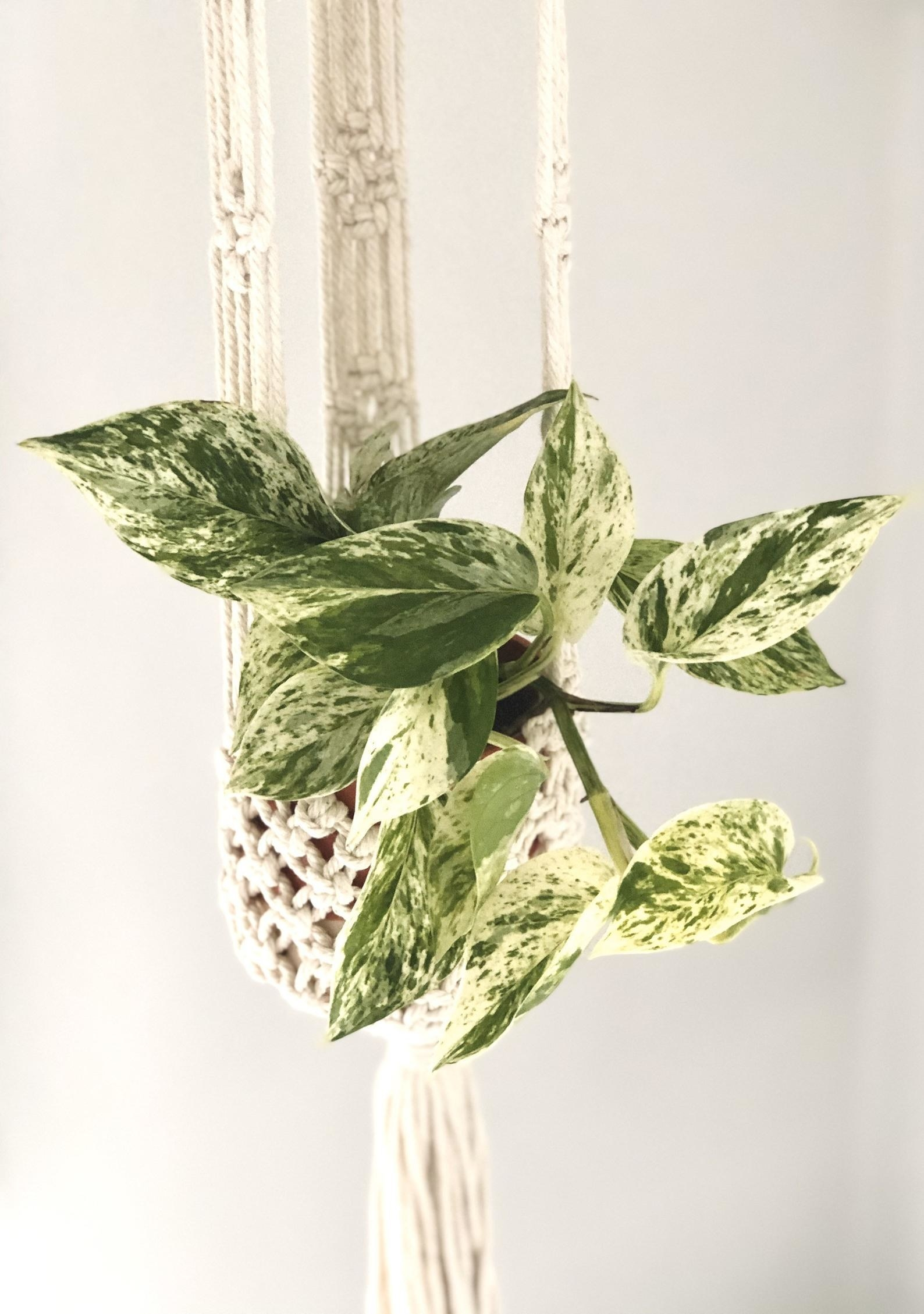 The Pothos plant hanging in a macrame hanger