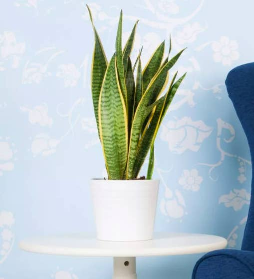 the snake plant in a white pot on a round white end table