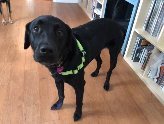 The dog harness in apple