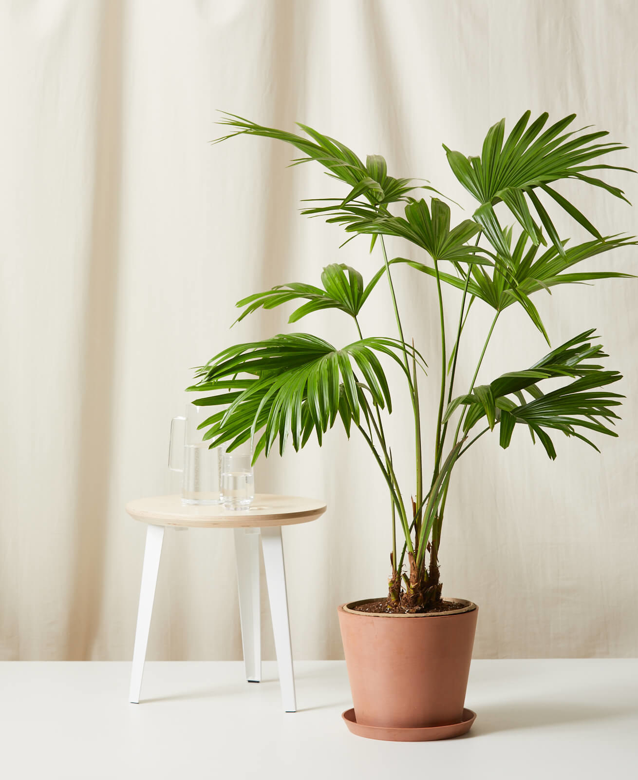The Chinese fan palm in a clay pot