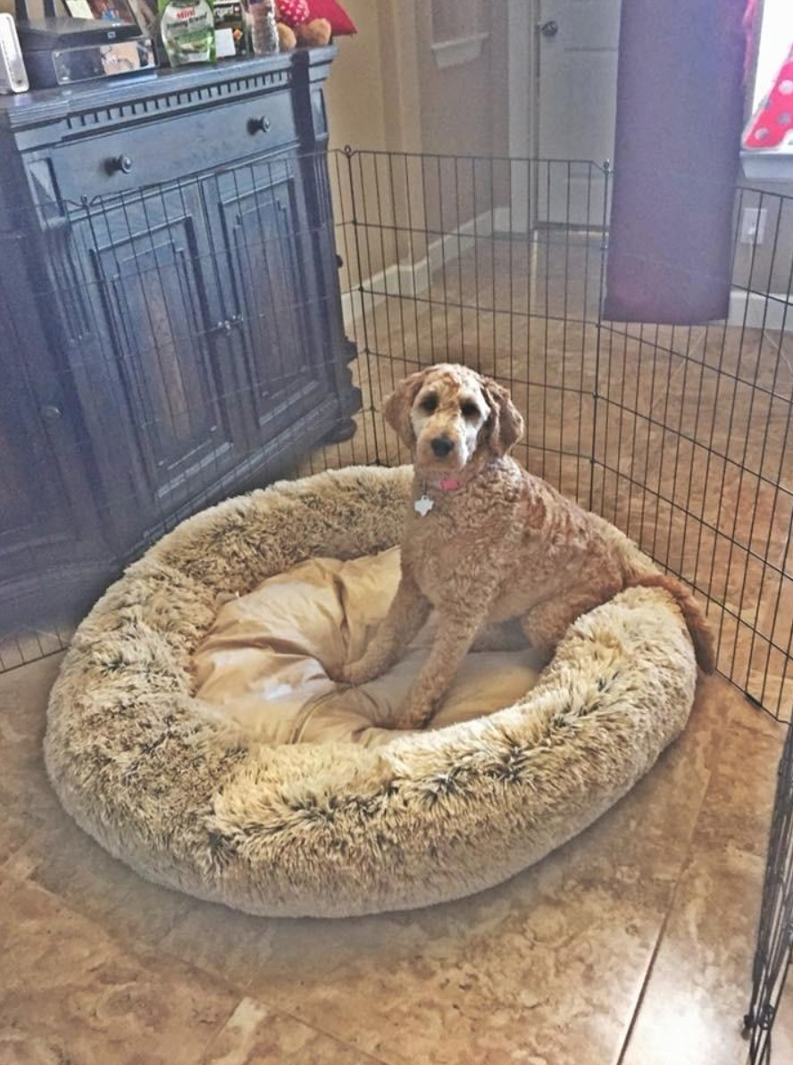 The calming donut pet bed with a reviewer's dog