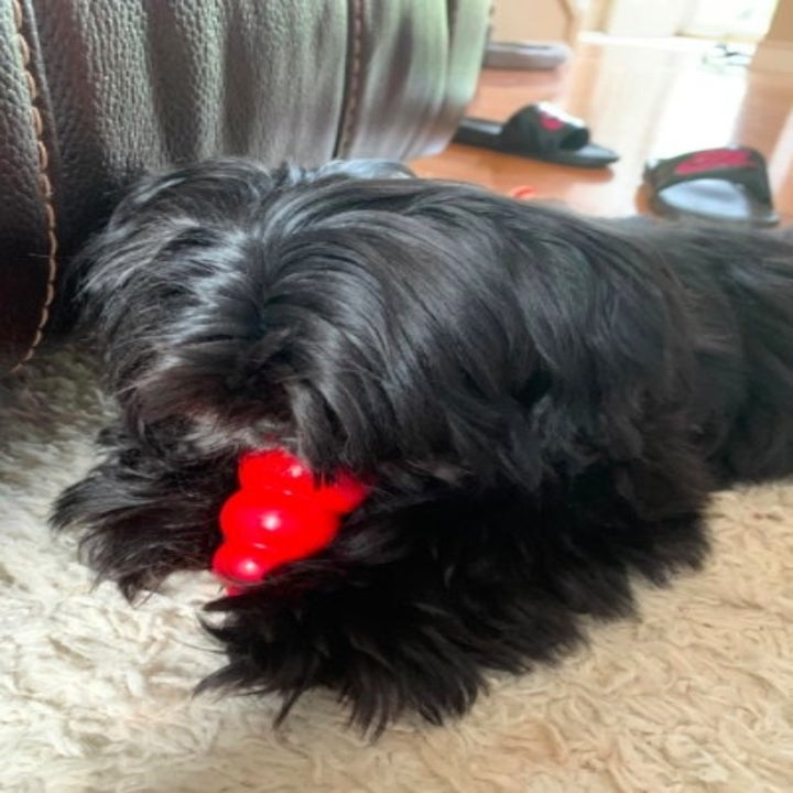 shih tzu holding a kong toy while eating out of a kong toy