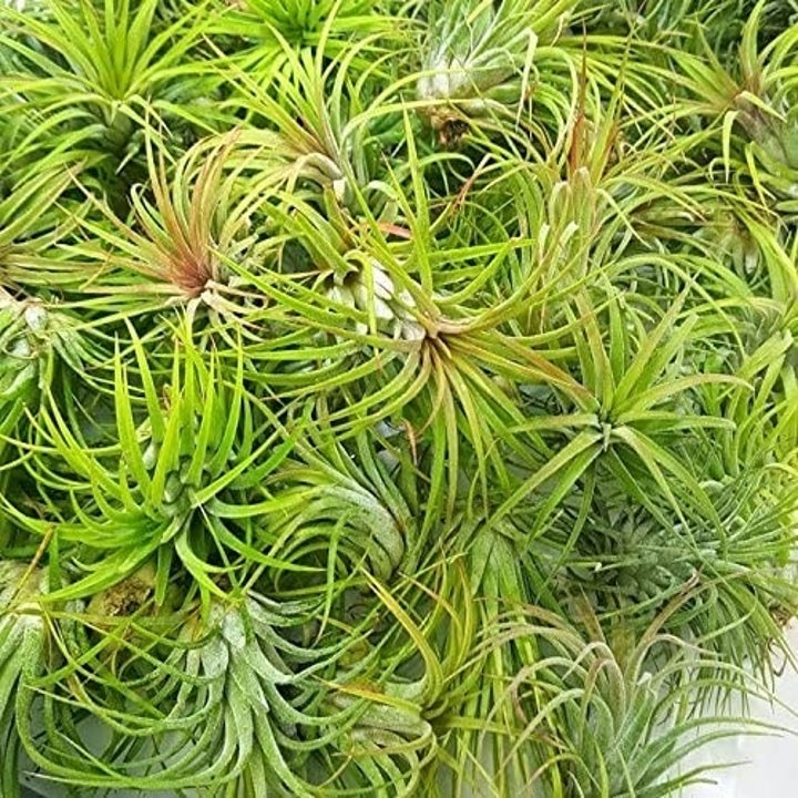 the green air plants before blooming
