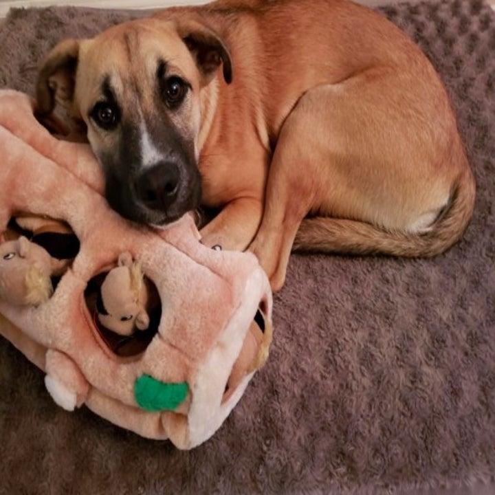 dog resting head on squirrel hiding toy