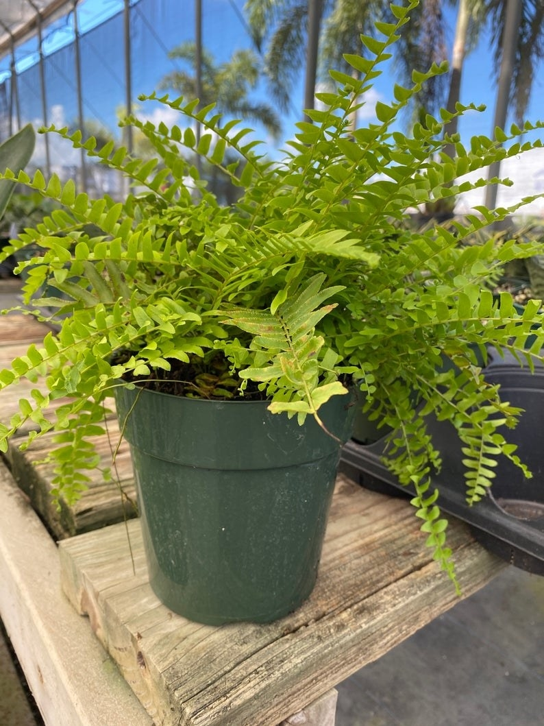 the fern in a green pot indoors