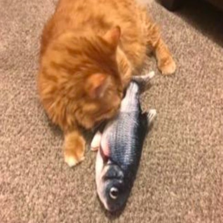 orange cat playing with a flippy fish toy