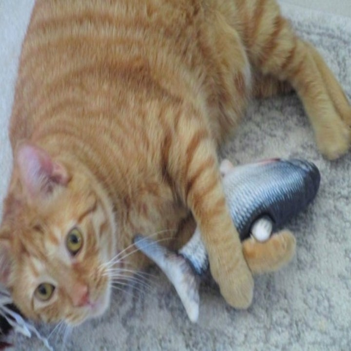 striped orange cat holding on to a fish-shaped toy