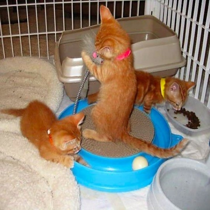 three kittens playing with a scratcher toy