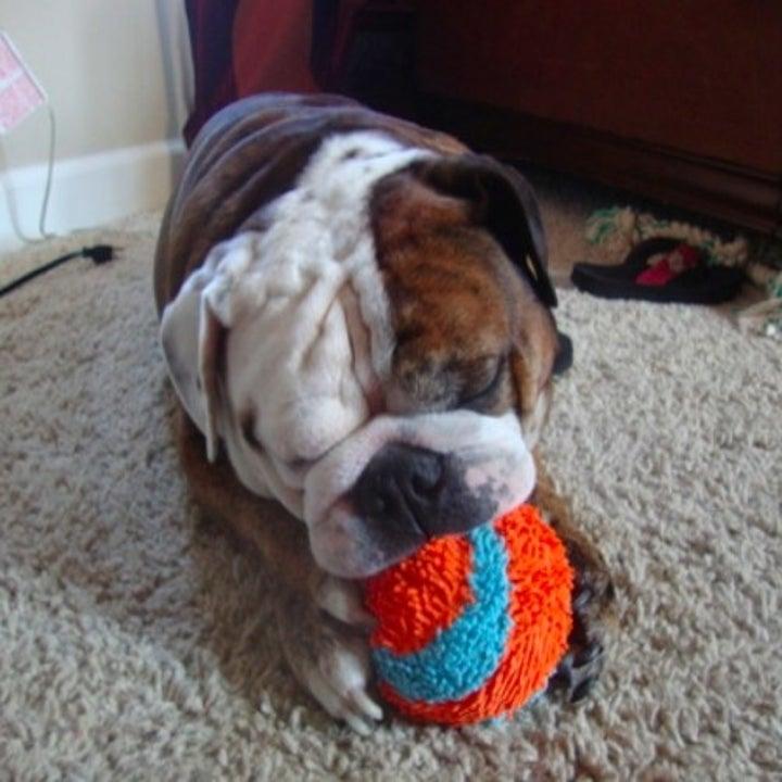 bulldog chewing on an indoor ball