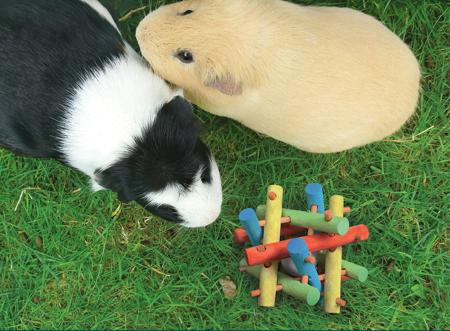 Two guinea pigs with the toy, on grass