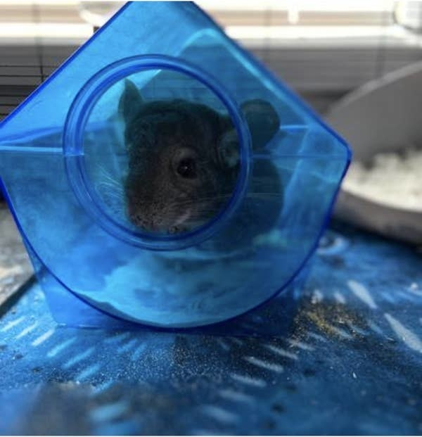 A chinchilla in the dust house
