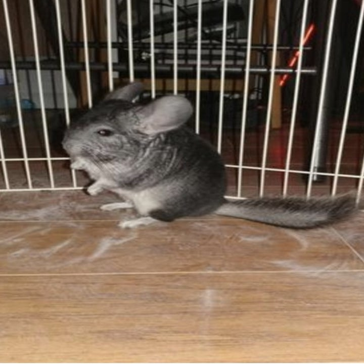 A dusted chinchilla