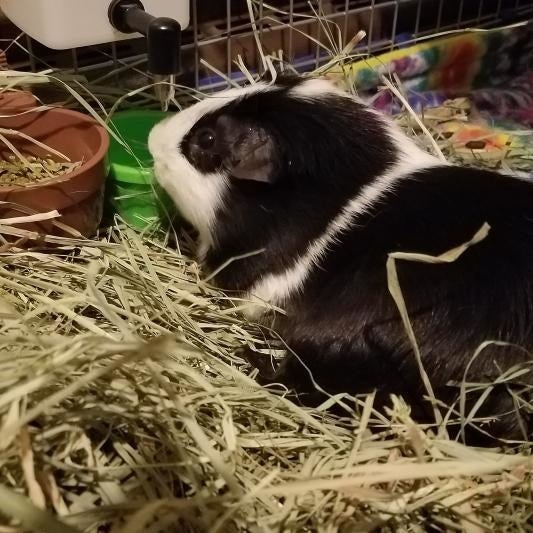 A guinea pig in the hay