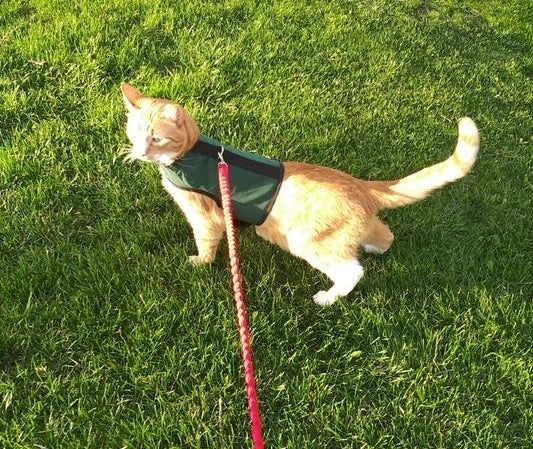 A cat in the harness, on a walk