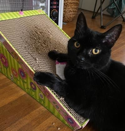 A black cat scratching the toy