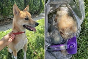 First image: dog smiling after being brushed. Second image: garbage bag full of brushed dog hair.