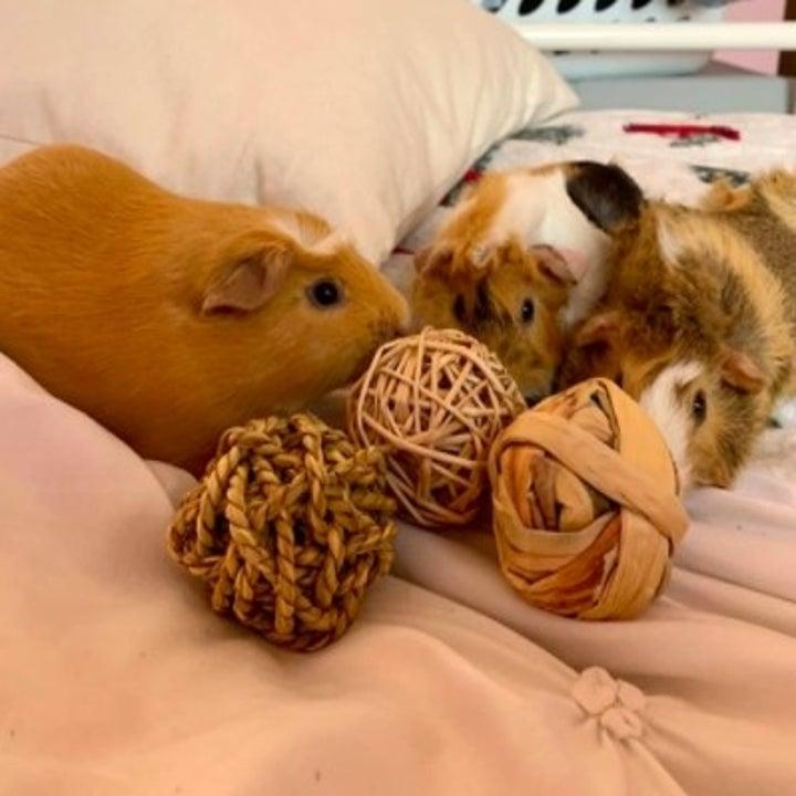 guinea pigs nibbling at balls