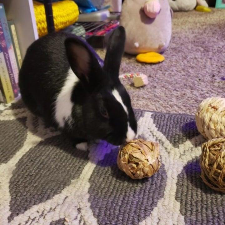 black and white rabbit nibbling at a ball