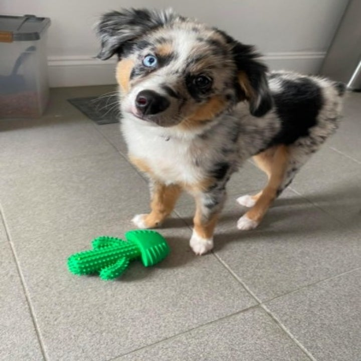 dog looks at the camera with a cactus toy at its feet