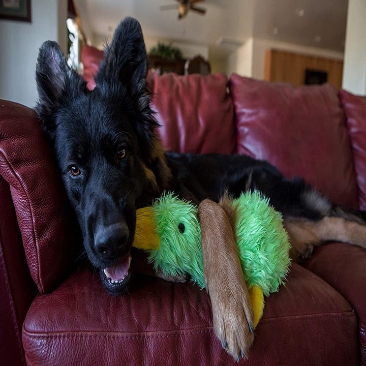 Dog holding on to green duck toy