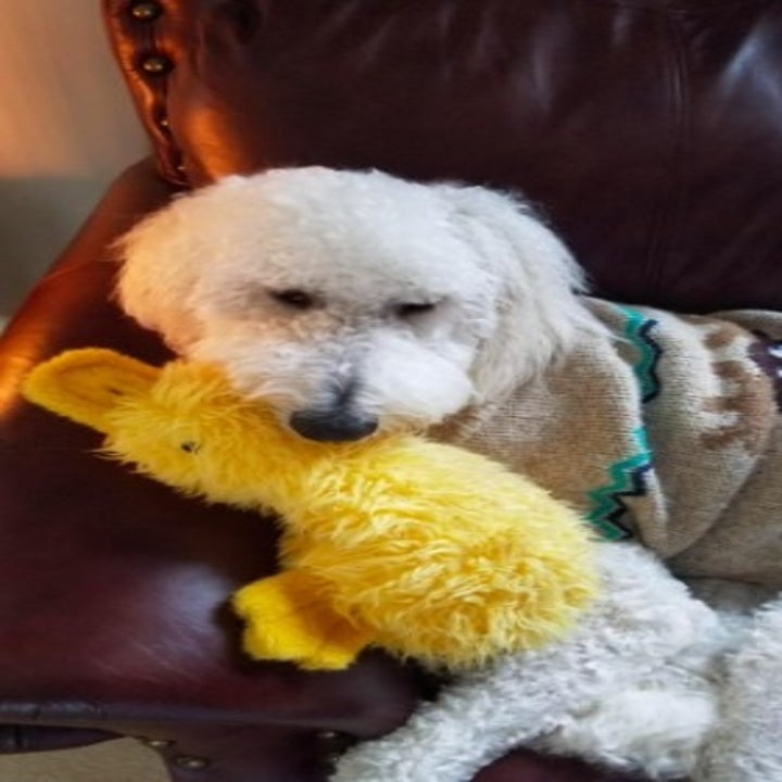 goldendoodle holding on to a duck-shaped toy