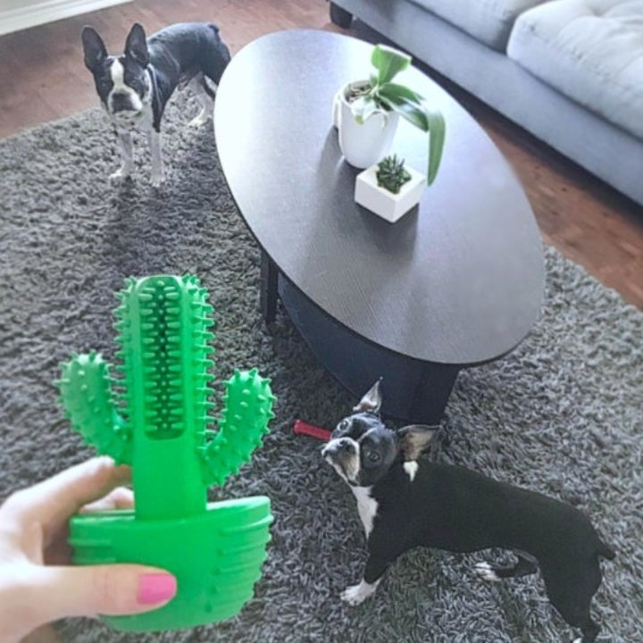 person holds up chew toy with two dogs in the background