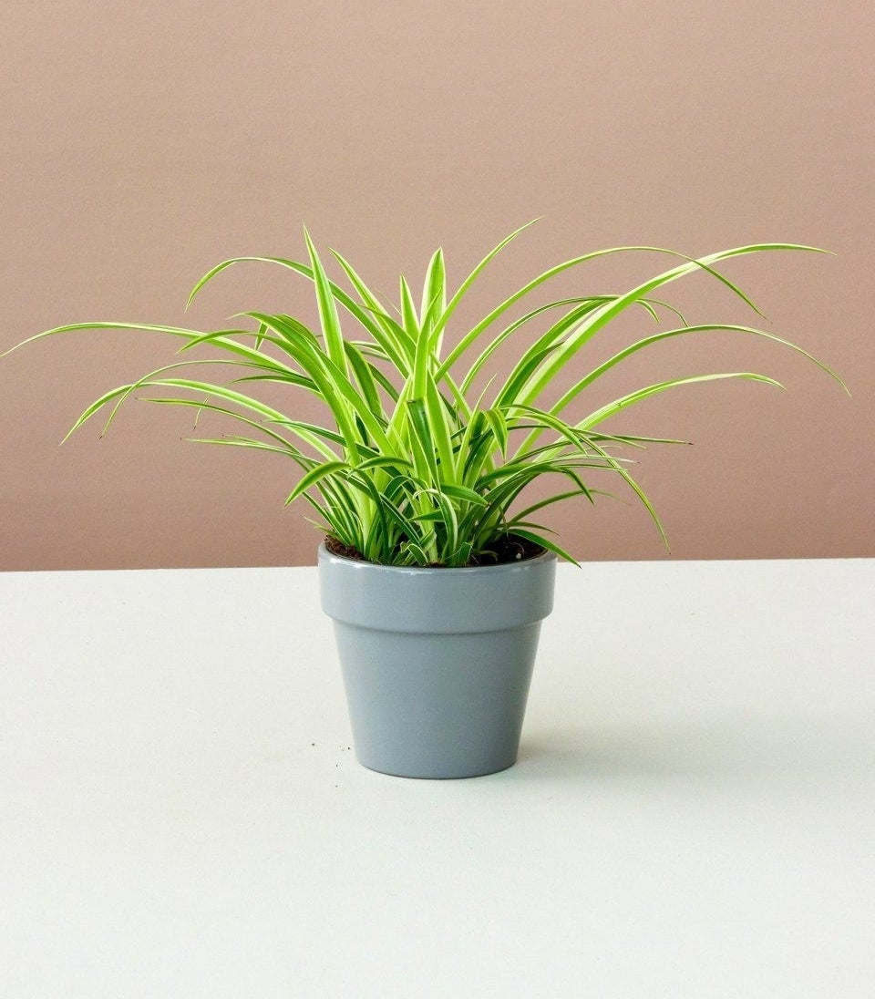 the lil' bit spider plant in a glossy gray ceramic pot