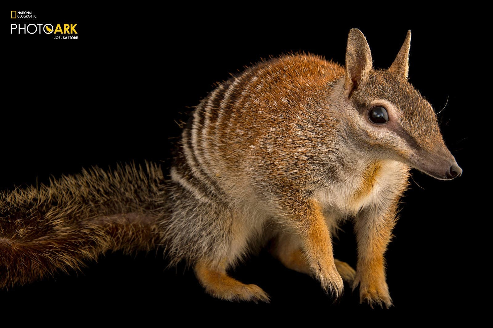 A small furry mammal on a black background
