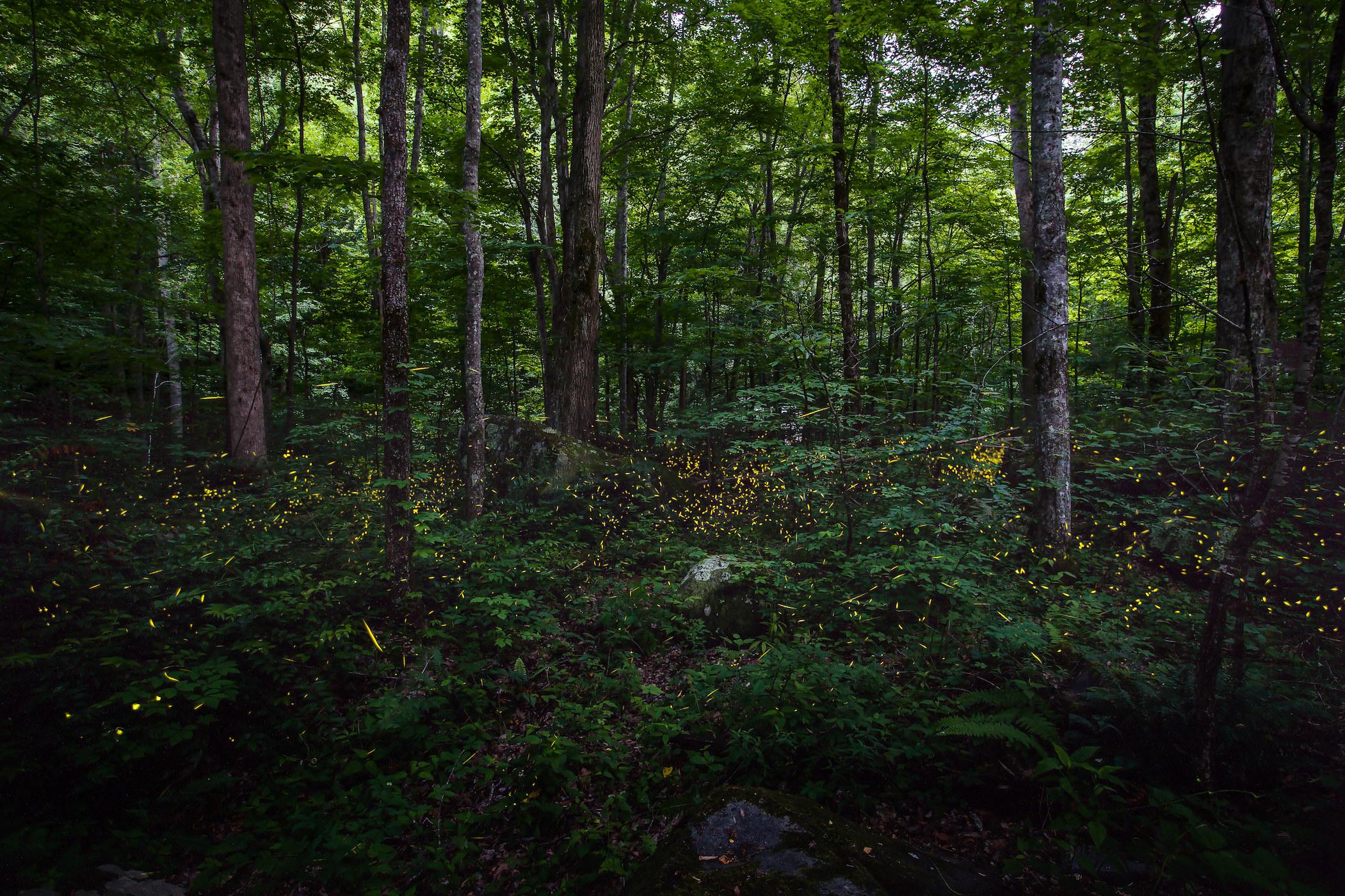 Bright yellow fireflies in dark green woods